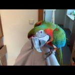 Tańcząca papuga.