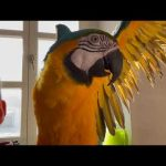 Ara ararauna Goldi gadająca papuga.